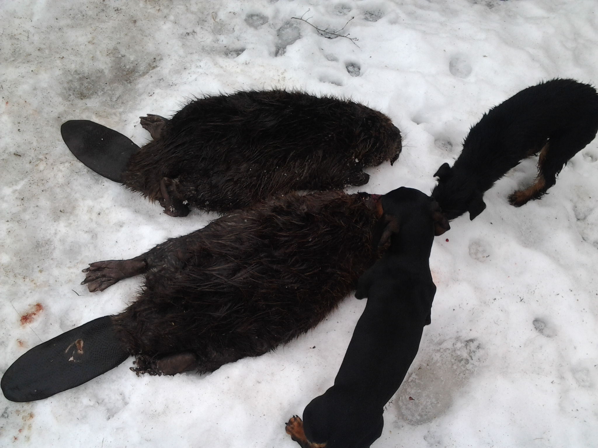 медвежья желчь от паразитов отзывы
